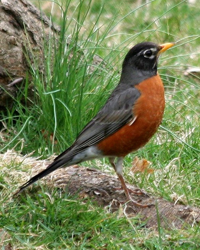 I saw the first Robin of Spring this morning! My backyard ...