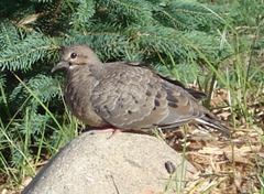 A baby Mourning dove in our backyard