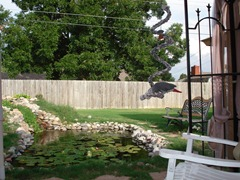 Our backyard showing our goldfish pond and our African grey parrot Rufus