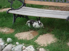 Our pet rabbit under the park bench next to our goldfish pond
