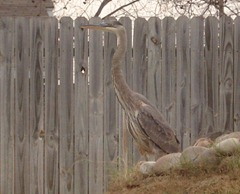 I am having mixed feelings about the magnificent Great Blue Heron that's been visiting our goldfish pond…