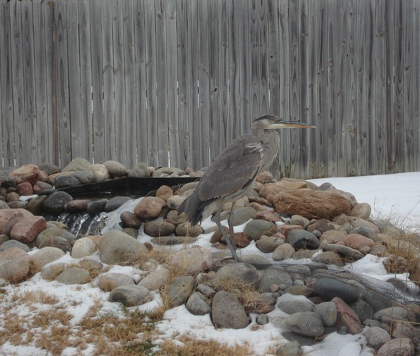 A magnificent Great Blue Heron who ate my goldfish