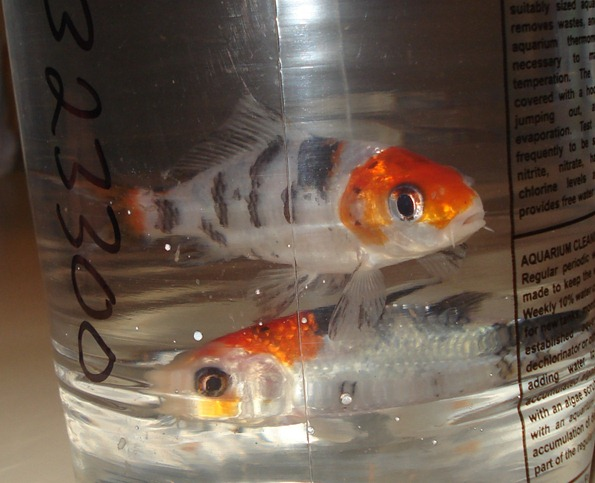 My hubby and i have additions to our family two baby koi for Koi fish family