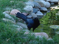 A male Great tailed grackle by our goldfish pond